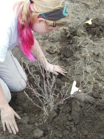 Transplanting currants