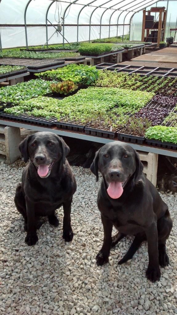 2 Farm Dogs